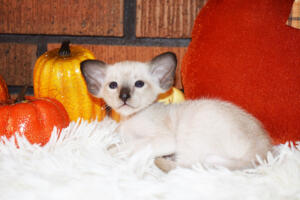 Oriental short-hair kitten for sale from Cataristocrat Casper4 weeks (4)