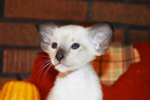Oriental short-hair kitten for sale from Cataristocrat Casper4 weeks (5)
