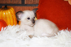 Oriental short-hair kitten for sale from Cataristocrat Casper4 weeks (6)