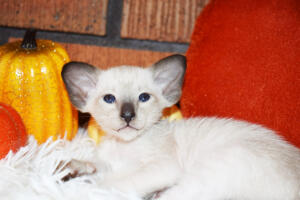 Oriental short-hair kitten for sale from Cataristocrat Casper4 weeks (7)