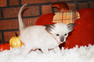 Oriental short-hair kitten for sale from Cataristocrat Casper4 weeks (9)