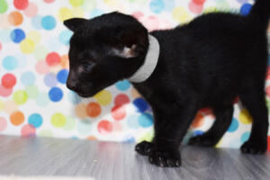 Oriental short-hair kitten for sale from Cataristocrat Chika 4 weeeks (14)