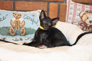 Oriental short-hair kitten for sale from Cataristocrat Chika 6 weeks (1)