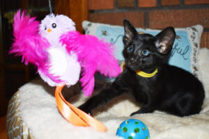 Oriental short-hair kitten for sale from Cataristocrat Chika 6 weeks (11)
