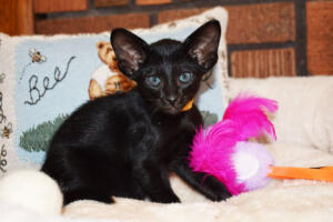 Oriental short-hair kitten for sale from Cataristocrat Chika 6 weeks (4)