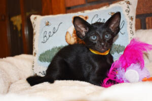 Oriental short-hair kitten for sale from Cataristocrat Chika 6 weeks (5)