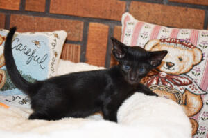 Oriental short-hair kitten for sale from Cataristocrat Chika 6 weeks (6)