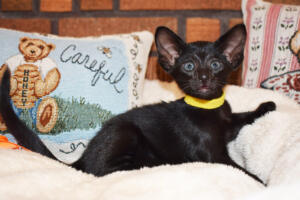 Oriental short-hair kitten for sale from Cataristocrat Chika 6 weeks (7)