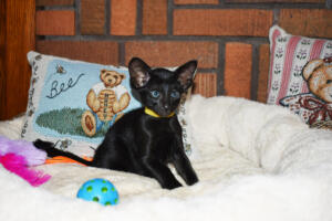 Oriental short-hair kitten for sale from Cataristocrat Chika 6 weeks (9)