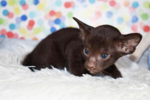 Oriental short-hair kitten for sale from Cataristocrat Diva 4 weeks (1)