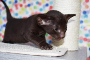 Oriental short-hair kitten for sale from Cataristocrat Diva 4 weeks (11)