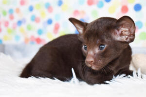 Oriental short-hair kitten for sale from Cataristocrat Diva 4 weeks (14)
