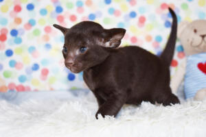 Oriental short-hair kitten for sale from Cataristocrat Diva 4 weeks (3)