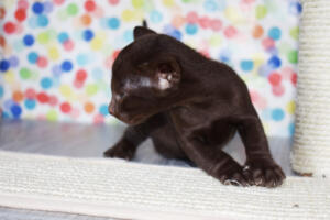 Oriental short-hair kitten for sale from Cataristocrat Diva 4 weeks (8)