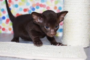 Oriental short-hair kitten for sale from Cataristocrat Diva 4 weeks (9)