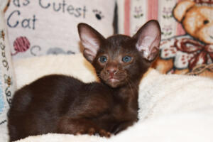 Oriental short-hair kitten for sale from Cataristocrat Diva 6 weeks (1)