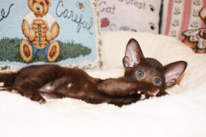 Oriental short-hair kitten for sale from Cataristocrat Diva 6 weeks (10)