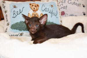 Oriental short-hair kitten for sale from Cataristocrat Diva 6 weeks (11)