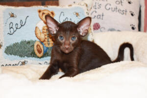 Oriental short-hair kitten for sale from Cataristocrat Diva 6 weeks (12)