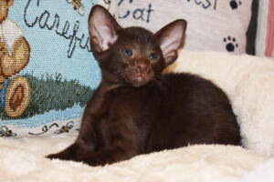 Oriental short-hair kitten for sale from Cataristocrat Diva 6 weeks (3)