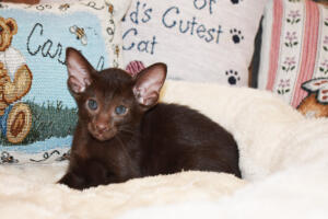 Oriental short-hair kitten for sale from Cataristocrat Diva 6 weeks (4)