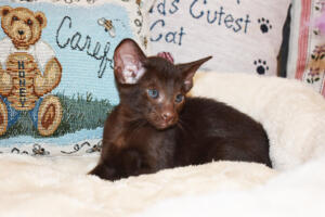 Oriental short-hair kitten for sale from Cataristocrat Diva 6 weeks (5)