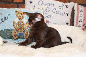 Oriental short-hair kitten for sale from Cataristocrat Diva 6 weeks (7)