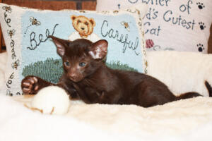 Oriental short-hair kitten for sale from Cataristocrat Diva 6 weeks (8)
