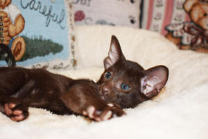 Oriental short-hair kitten for sale from Cataristocrat Diva 6 weeks (9)