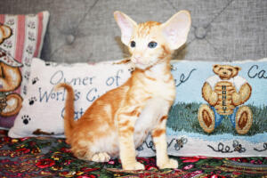 Oriental short-hair kitten for sale from Cataristocrat Georgio 7 weeks (1)