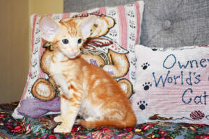 Oriental short-hair kitten for sale from Cataristocrat Georgio 7 weeks (10)