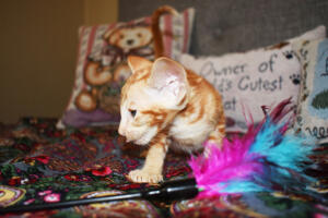 Oriental short-hair kitten for sale from Cataristocrat Georgio 7 weeks (12)
