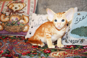 Oriental short-hair kitten for sale from Cataristocrat Georgio 7 weeks (2)