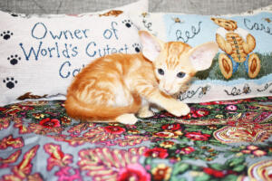 Oriental short-hair kitten for sale from Cataristocrat Georgio 7 weeks (3)