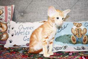 Oriental short-hair kitten for sale from Cataristocrat Georgio 7 weeks (4)