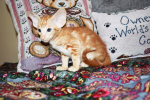 Oriental short-hair kitten for sale from Cataristocrat Georgio 7 weeks (5)