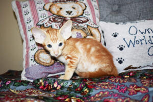 Oriental short-hair kitten for sale from Cataristocrat Georgio 7 weeks (6)
