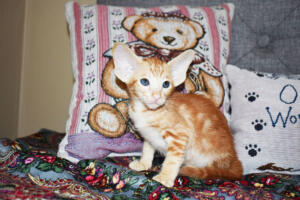 Oriental short-hair kitten for sale from Cataristocrat Georgio 7 weeks (7)