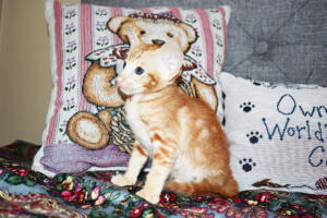 Oriental short-hair kitten for sale from Cataristocrat Georgio 7 weeks (8)