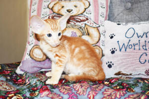 Oriental short-hair kitten for sale from Cataristocrat Georgio 7 weeks (9)