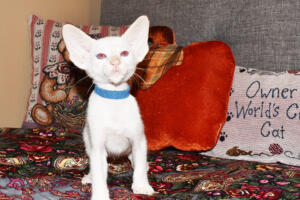 Oriental short-hair kitten for sale from Cataristocrat weeeks (10)