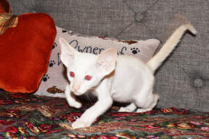 Oriental short-hair kitten for sale from Cataristocrat  7 weeeks (12)