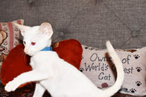 Oriental short-hair kitten for sale from Cataristocrat weeeks (2)