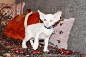 Oriental short-hair kitten for sale from Cataristocrat  weeeks (3)