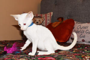 Oriental short-hair kitten for sale from Cataristocrat  weeeks (4)