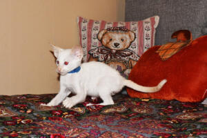 Oriental short-hair kitten for sale from Cataristocrat Scout 7 weeeks (5)