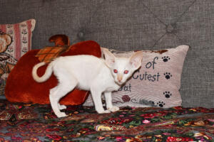 Oriental short-hair kitten for sale from Cataristocrat  weeeks (6)