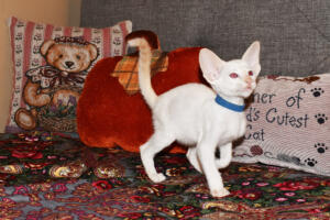 Oriental short-hair kitten for sale from Cataristocrat  7 weeks (9)