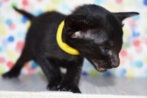 Oriental short-hair kitten for sale from Cataristocrat Tonya 4 weeks (13)