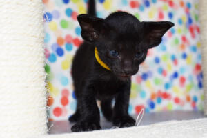 Oriental short-hair kitten for sale from Cataristocrat Tonya 4 weeks (16)